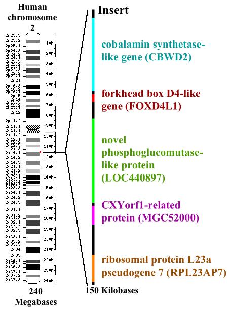 Menn-kromosom